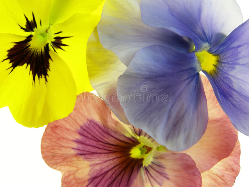 Transparent heartsease stock photo