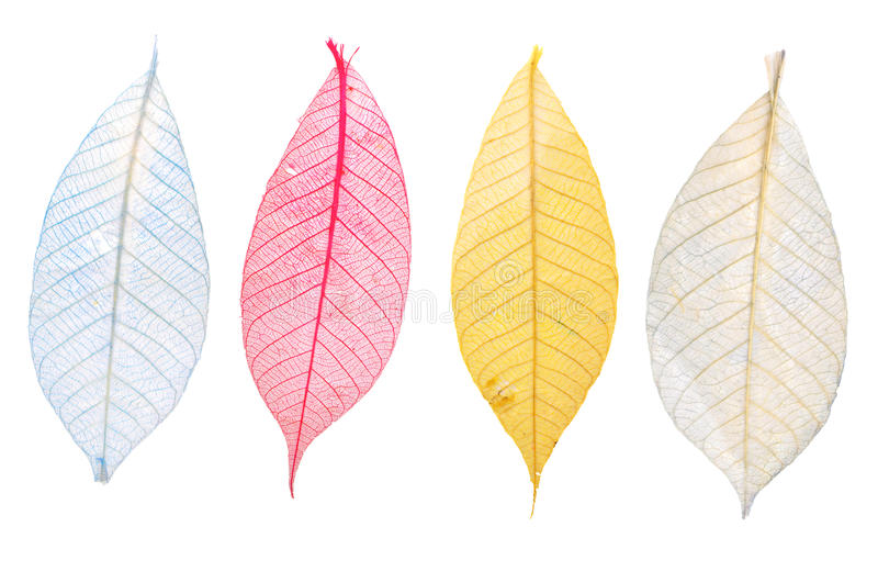 Transparent Leaf. On White Background royalty free stock photo