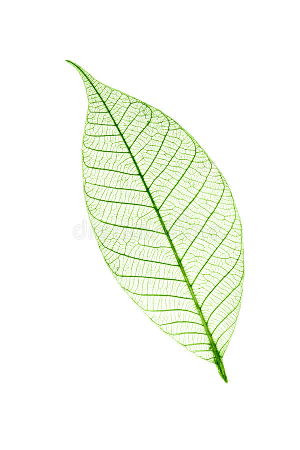Transparent leaf isolated on white. Background royalty free stock photo