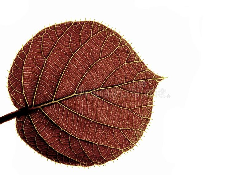 Transparent leaf of a kiwi royalty free stock image