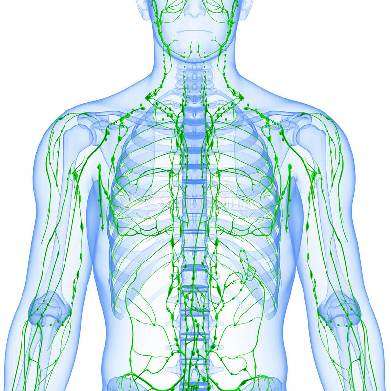 Transparent Lymphatic System Isolated With White Stock Illustration