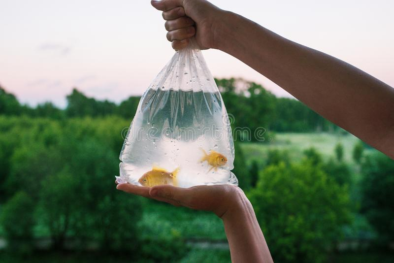Transparent package with purchased aquarium fish. Hands holding a bag of gold fish. Two goldfish in plastic packaging stock photo