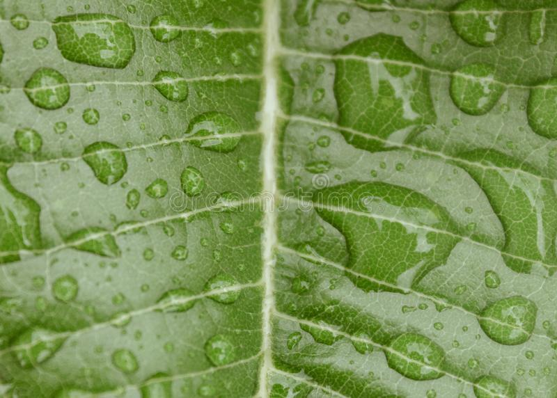 Transparent Rain water droplets on fresh green Autumn leaf macro after rain. Beautiful nature background. Drops of dew in green. Leaves. Outdoors, foliage stock images