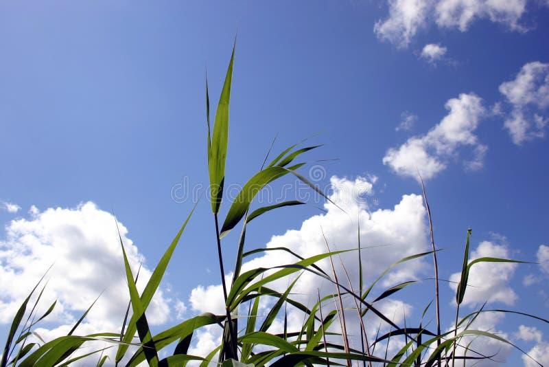 Transparent reeds stock photography