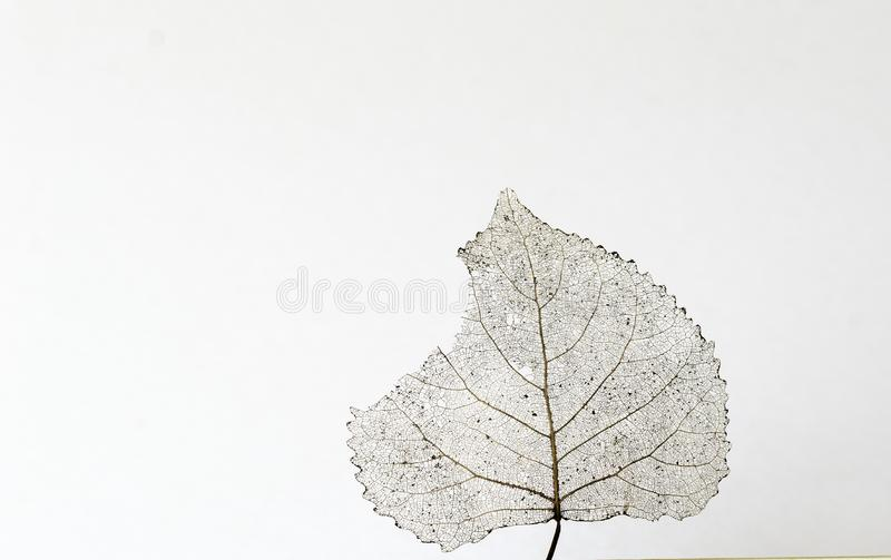 Transparent skeleton leaf with beautiful texture on a white background close-up macro royalty free stock images