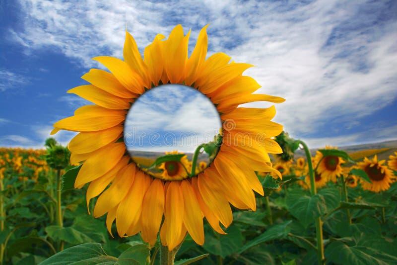 Transparent sunflower vector illustration