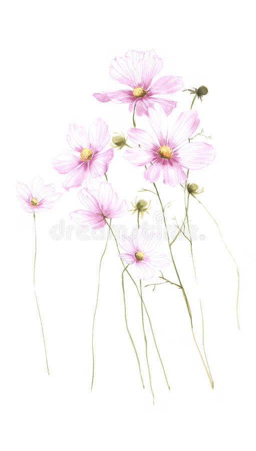 Download Transparent Wild Flower Carnation Watercolor Isolated On White Stock Illustration