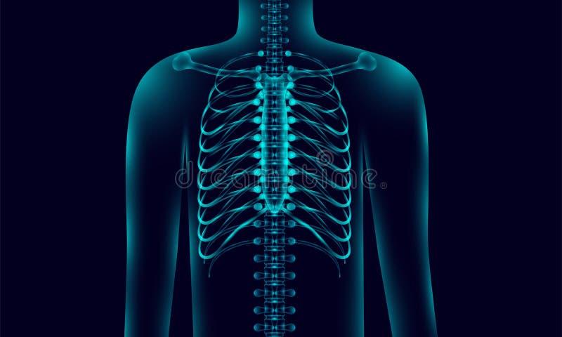 Transparente Anatomiehintergrundbeleuchtung des menschlichen Körpers mit dem Rückgrat, Röntgenstrahltonart Illustration eps10 stock abbildung