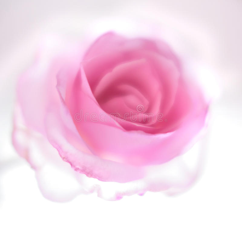 Transperent rose s'est levé images stock