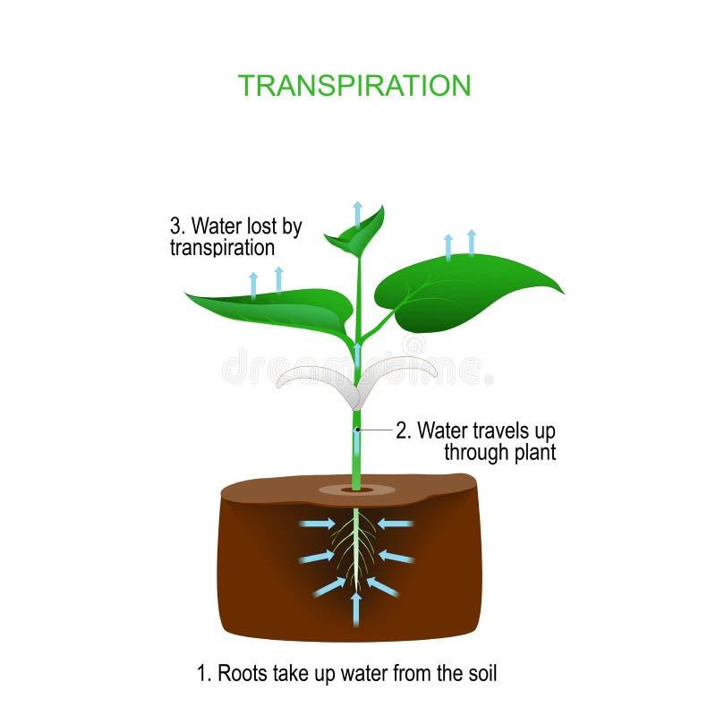 A transpiração é o processo de movimento da água com um plano ilustração royalty free