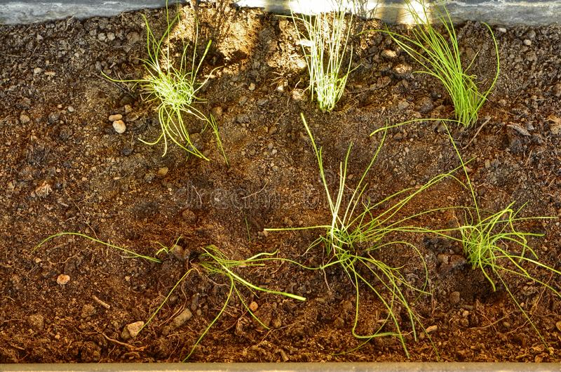 Transplant of chive seedlings. Into a vase stock photo