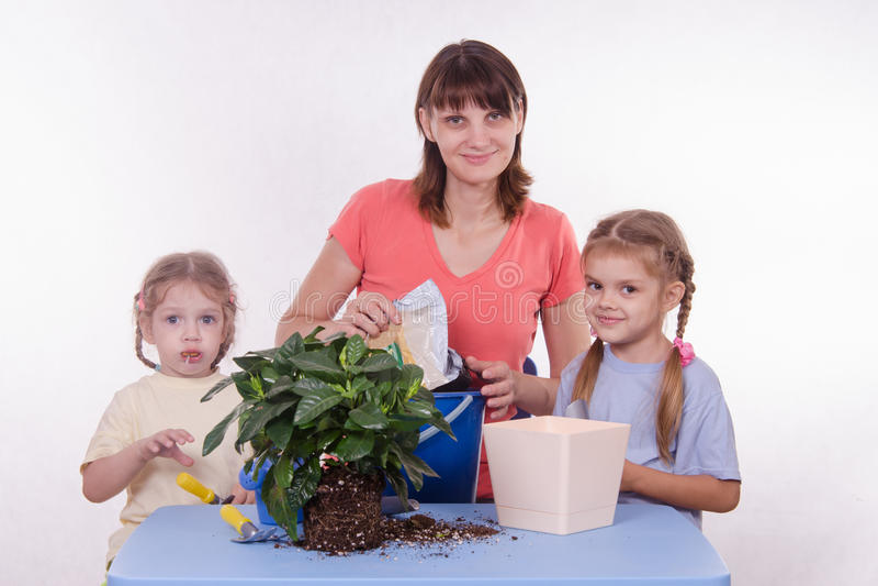 Transplantações da flor da sala de família imagens de stock