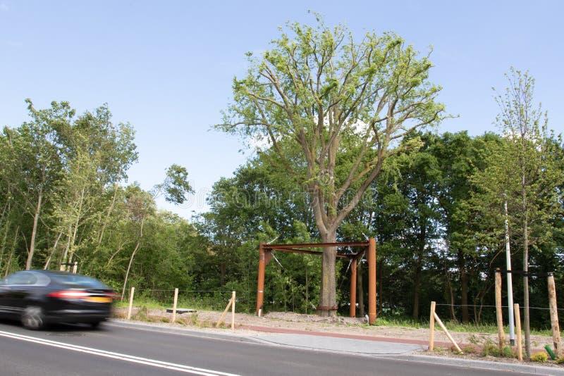 Transplanterad alm i Haag, Nederländerna arkivfoto