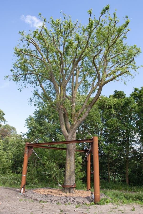 Transplanterad alm i Haag, Nederländerna royaltyfri fotografi
