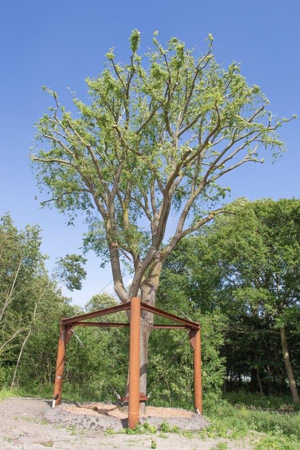 Transplanterad alm i Haag, Nederländerna royaltyfri foto