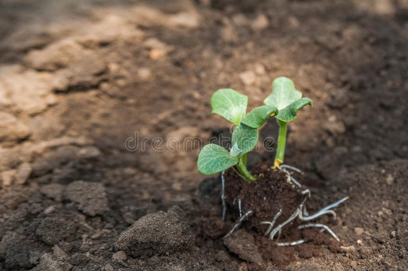 Transplanting plants illustration of procedures and tools for caring for indoor plants. Soil preparation. Care Of New Life - Water. Ing Young Plant. New life stock photo