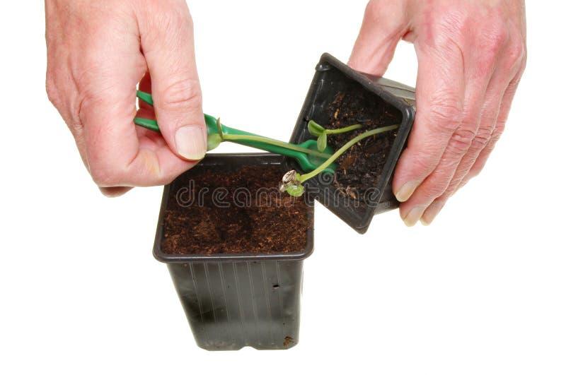 Download Transplanting seedlings stock photo. Image of seedling - 24291180