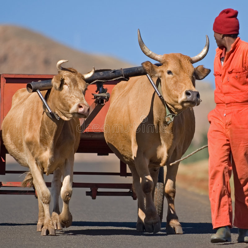 Transport 2 de chariot de boeuf image libre de droits