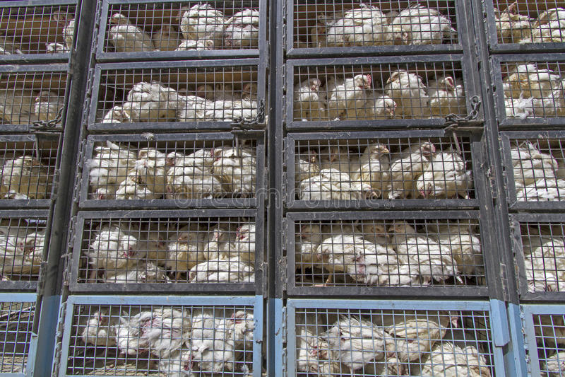 Transport de poulet dans Ladakh, Inde photo libre de droits