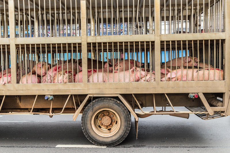 Transport of slaughter pigs. By truck stock photography