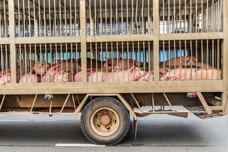 Transport von Schlachtschweinen stockfotografie