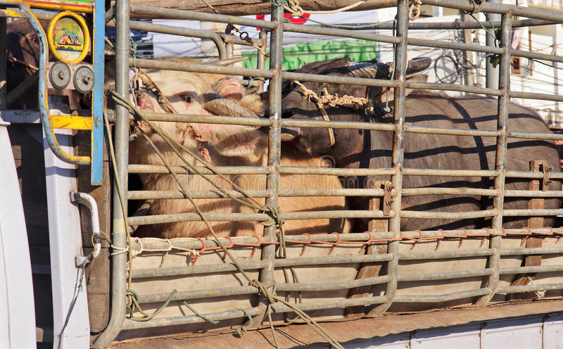 Transportation of cattle. Truck in Thailand royalty free stock photos