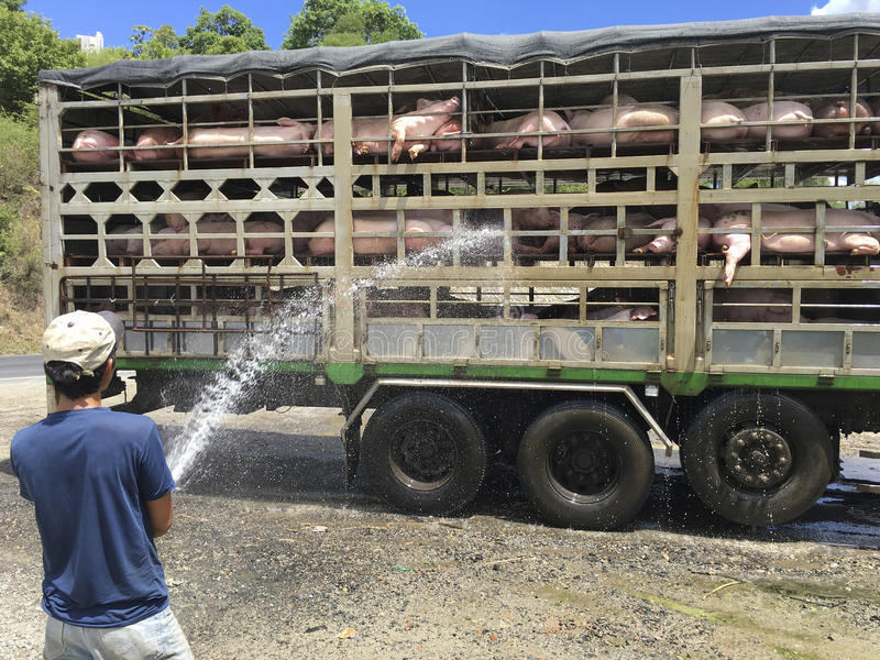 Transportation of pigs in Vietnam on hot day. Vietnamese man pours water on pigs being transported by truck on hot day stock photo