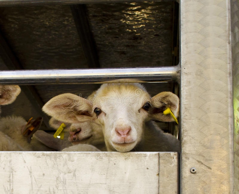 Transporting sheep royalty free stock photo