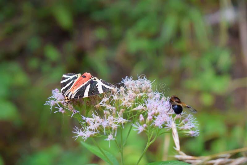 Transsylvania fjäril och geting royaltyfri foto