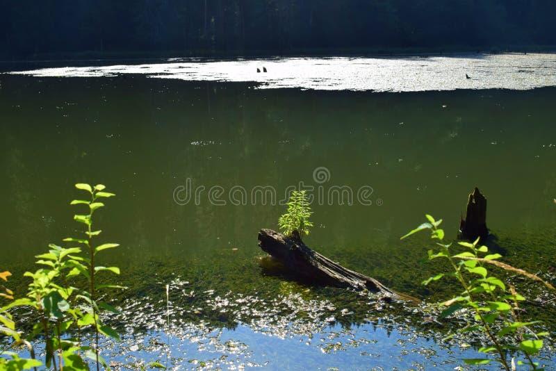 Transsylvania sjö med växter som växer i döda träd fotografering för bildbyråer