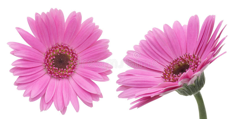 Download Transvaal Daisy In A White Background Stock Photo - Image: 34457750
