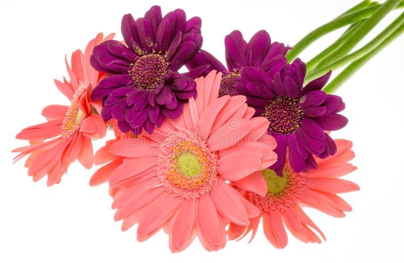 Download Transvaal-Gänseblümchen In Einem Weißen Hintergrund Stockfoto - Bild von lüge, gänseblümchen: 47100162