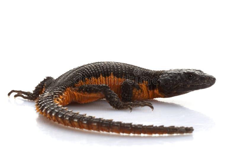 Transvaal rodeó el lagarto fotografía de archivo