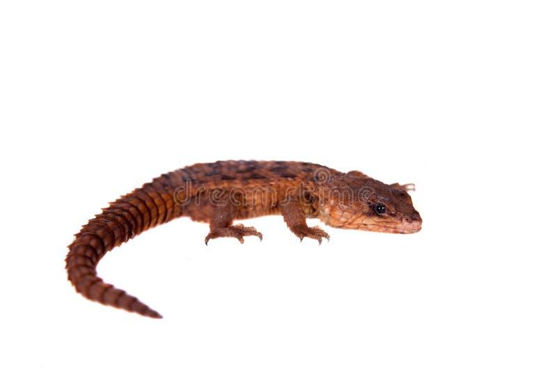 Transvaal rodeó el lagarto en el fondo blanco fotos de archivo