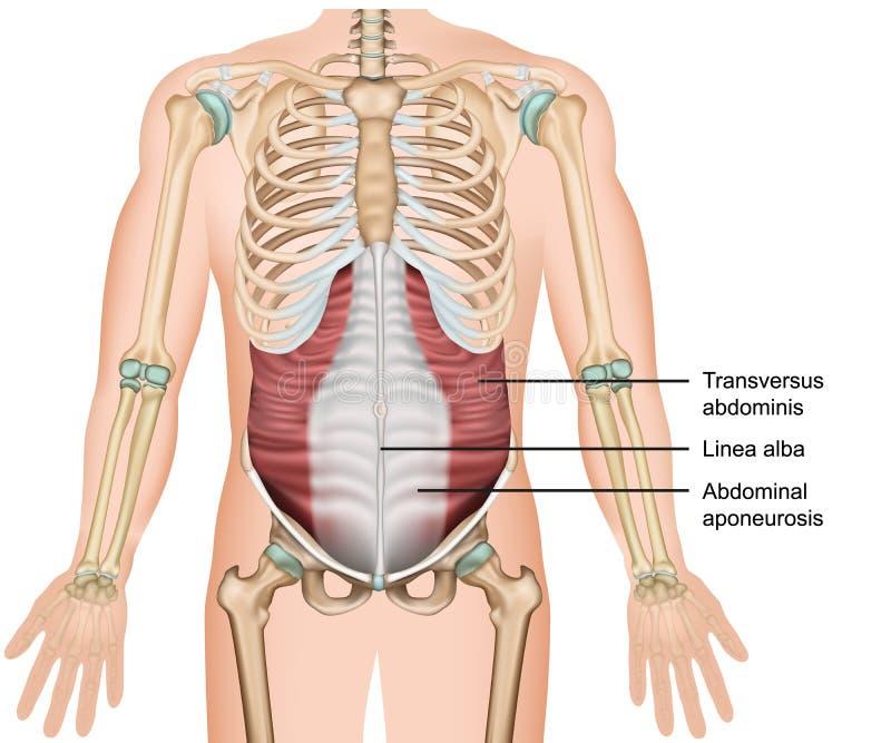 Transversus medicinsk illustration för muskel 3d, djup muskel för abdominals stock illustrationer