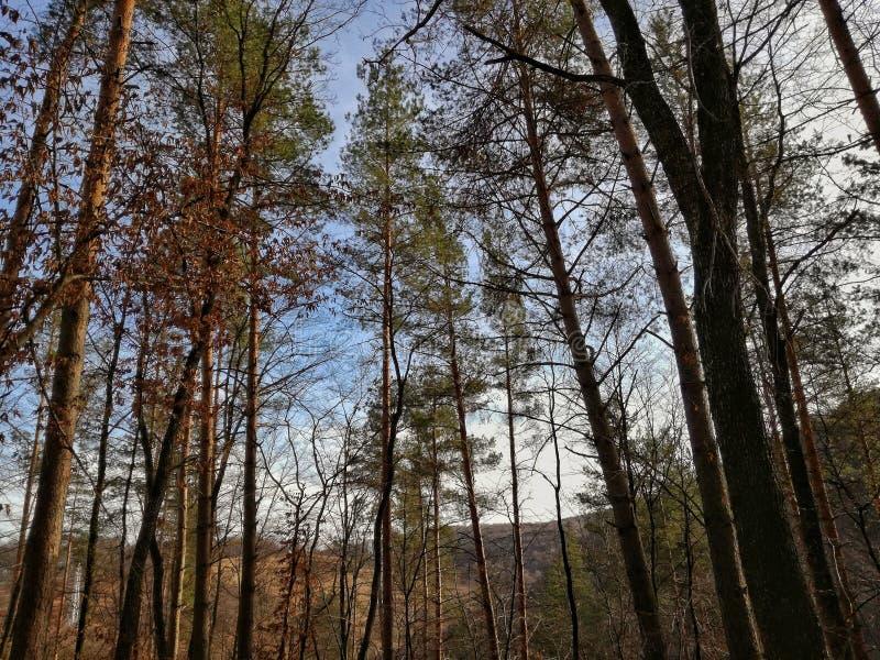 Transylvanian uroczy lasy w wczesnej wiośnie zdjęcia stock