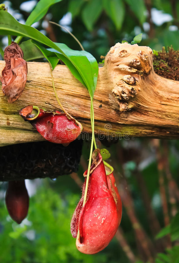 Trap Flower (plant Anatomy) Nepenthes Pitfall Trap Stock Photo ...