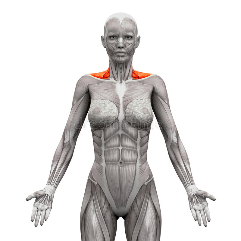 Trapecio Front Neck Muscles - músculos de la anatomía aislados en blanco libre illustration