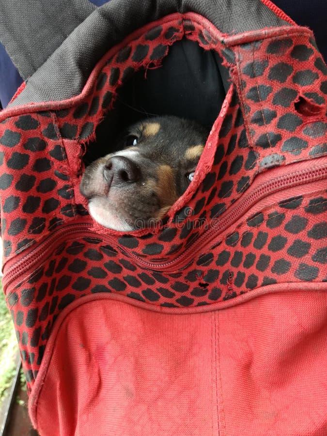 Traped liten hund arkivbild
