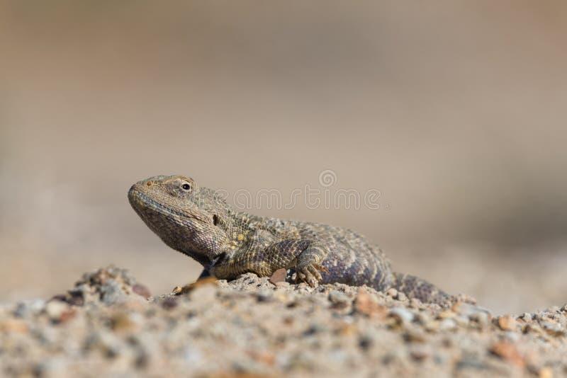 Trapelus Sanguinolentus, ящерица от семьи агамы Агама степи Большая ящерица Trapelus Sangoinolentus степи heated на Th стоковое фото rf