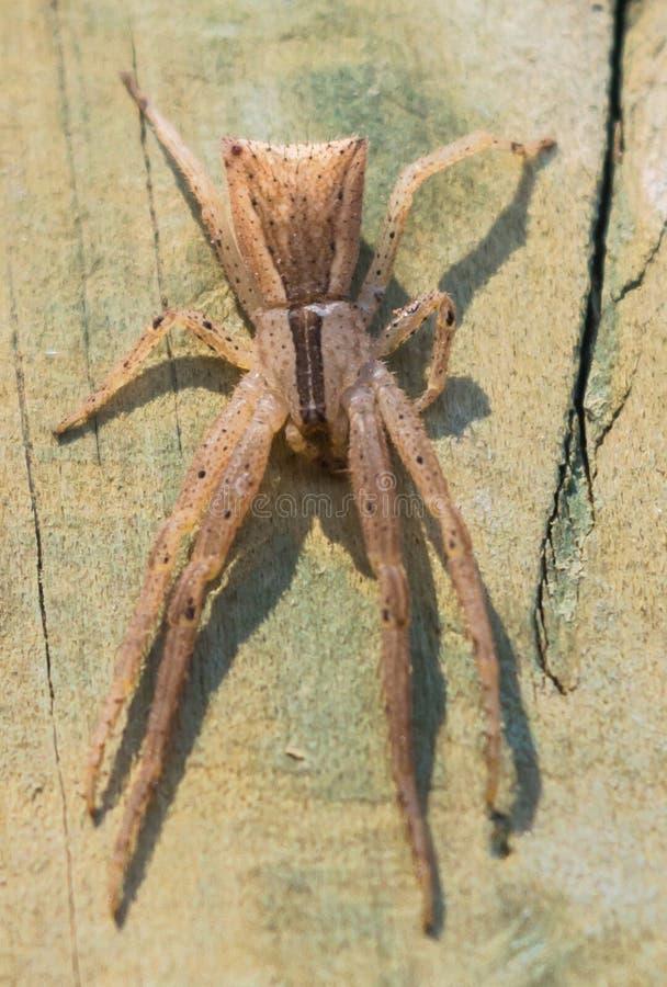 Trapezia de Sidymella de la araña del cangrejo del trapezoide fotografía de archivo libre de regalías