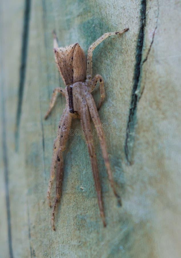 Trapezia de Sidymella de la araña del cangrejo del trapezoide fotos de archivo libres de regalías