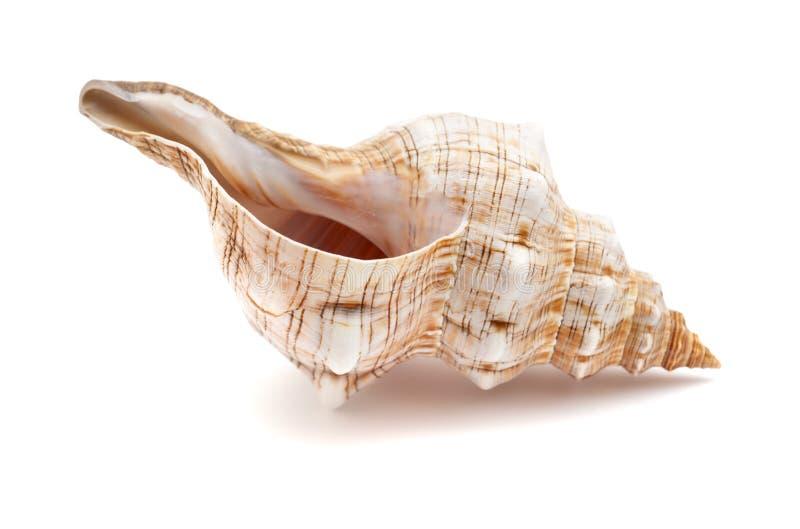 Trapezium Pleuroploca, раковина лошади trapezium стоковое фото