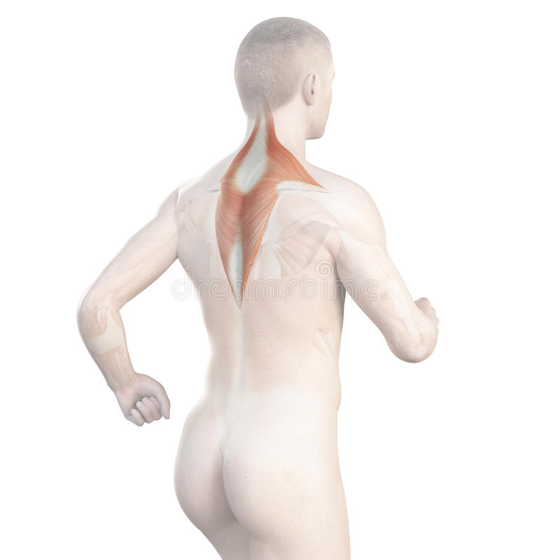 The trapezius of a jogger. Illustration showing the trapezius of a jogger stock illustration