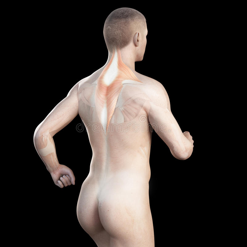 The trapezius of a jogger. Illustration showing the trapezius of a jogger vector illustration