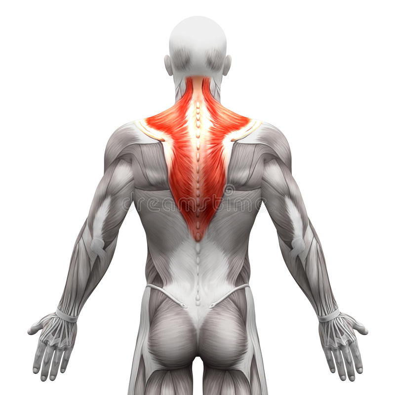 Free Trapezius Muscle - Anatomy Muscles Isolated On White - 3D Illustration Royalty Free Stock Photography - 71503307