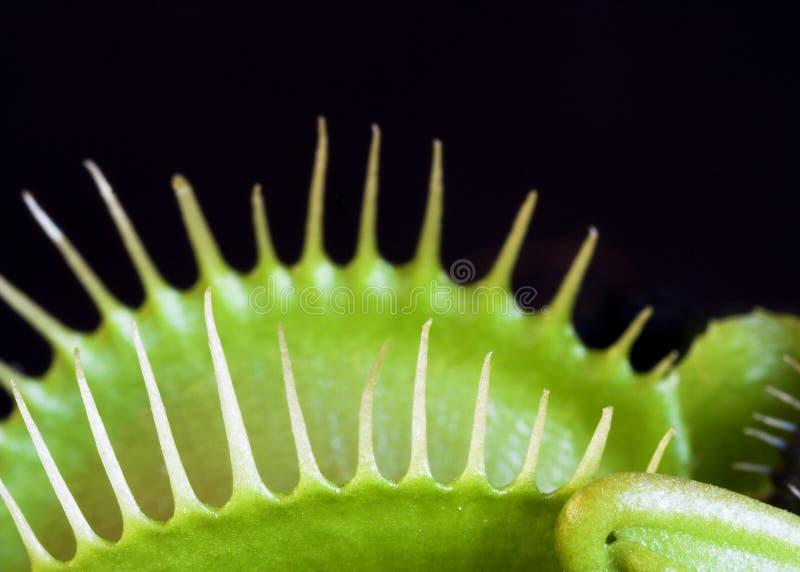 Trappe de mouche de Venus photo libre de droits