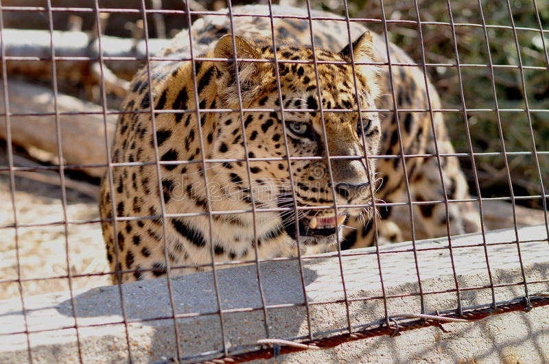 Trapped Angry Cheetah. Angry, trapped Cheetah in cage at St. Louis Zoo is baring teeth and eyeing the crowd royalty free stock image