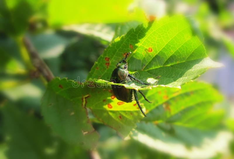 Trapped Japanese Beetle royalty free stock images