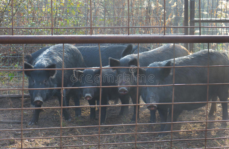 Trapped Wild Hogs. A family of wild hogs that have been trapped behind a fence royalty free stock image